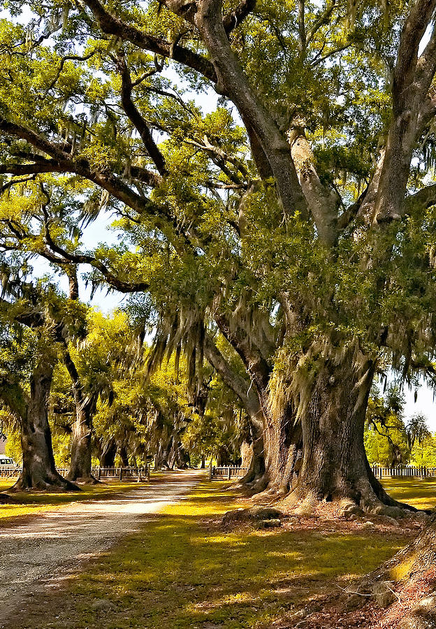 Evergreen Plantation Photograph - A Stroll Through Time by Steve Harrington