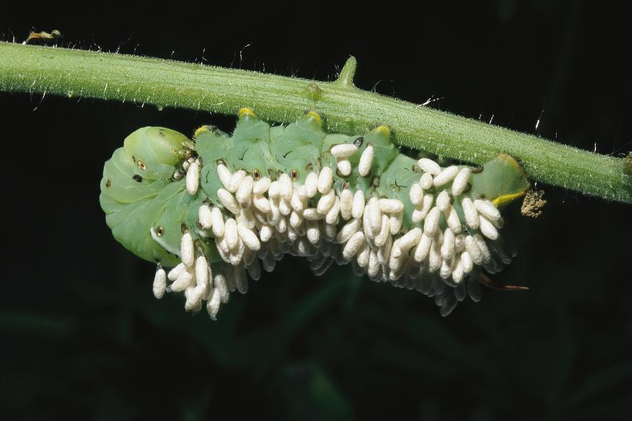 A Tobacco Hornworm Caterpillar Photograph