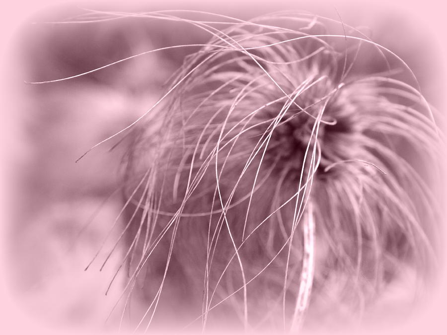 Clematis Photograph - A Touch Of Pink by Lorainek Photographs