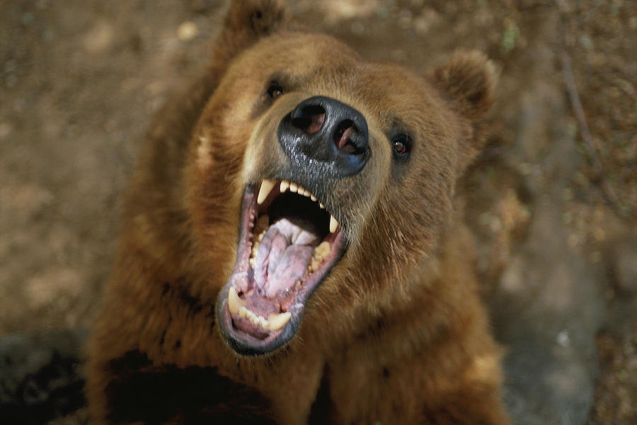 A Trained Kodiak Bear With Its Mouth Photograph