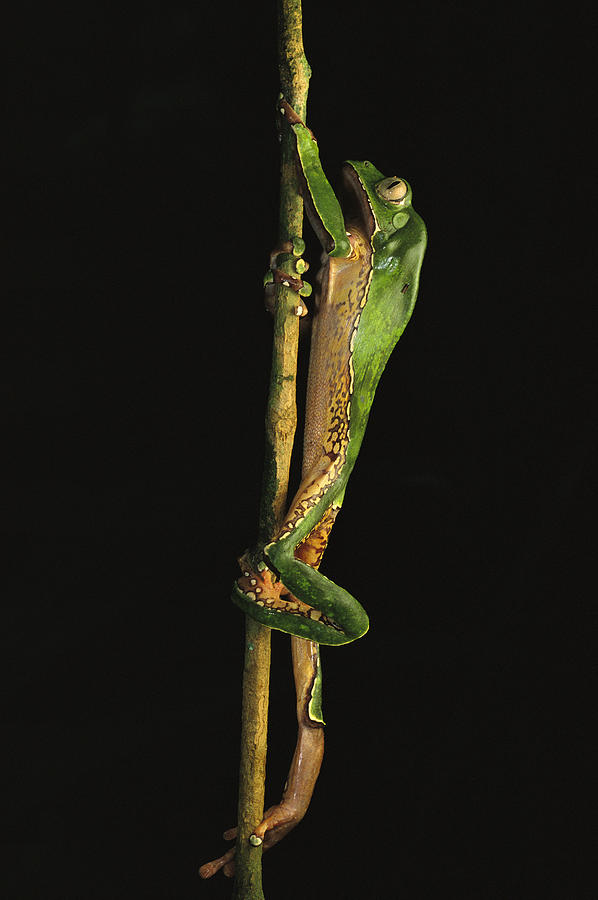 A Tree Frog Climbing A Branch Photograph