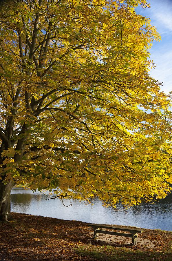 A Tree With Golden Leaves And A Park Photograph