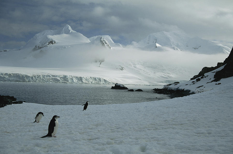 A Trio Of Chin Strap Penguins Amble Photograph