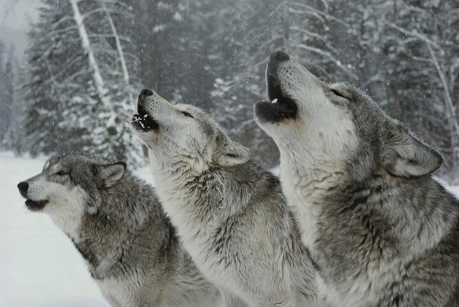 A Trio Of Gray Wolves, Canis Lupus Photograph