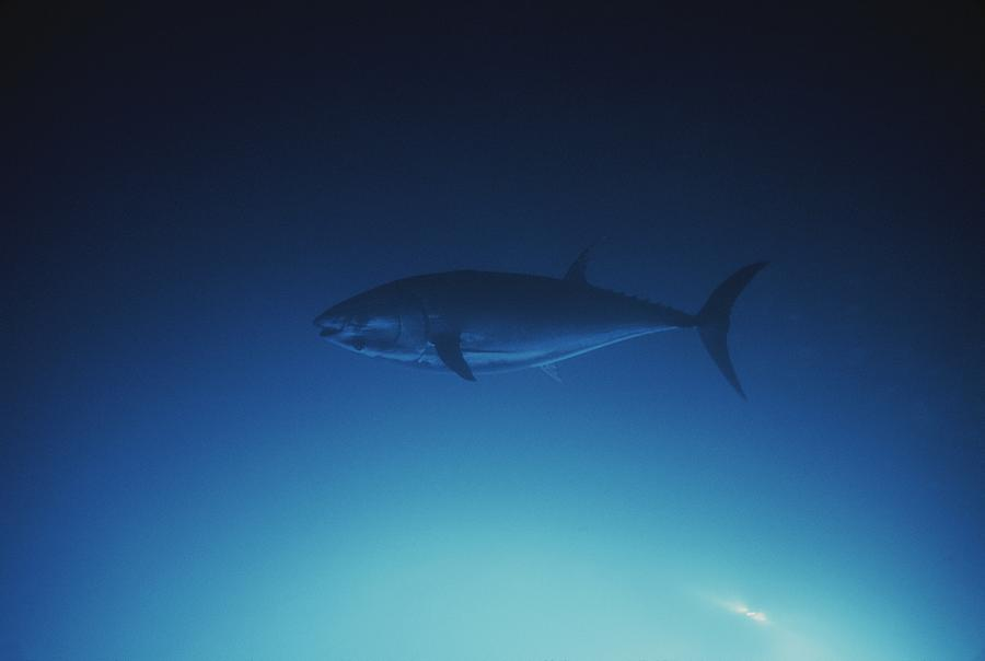 A tuna fish swimming in the water photograph by john anderson for Fish swimming backwards
