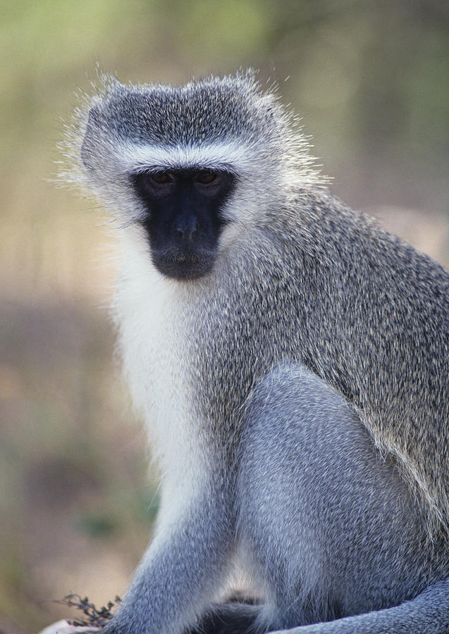 A Vervet Monkey In The Sun Photograph  - A Vervet Monkey In The Sun Fine Art Print