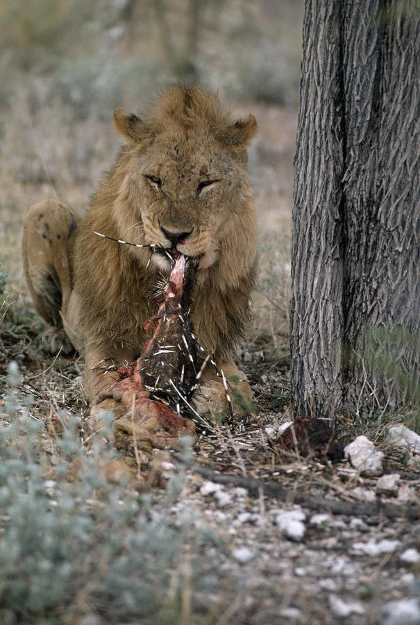 A View Of A Lion Panthera Leo Eating Photograph