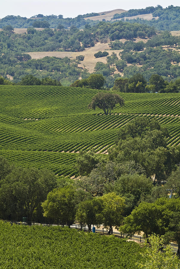A Vineyard In The Anderson Valley Photograph