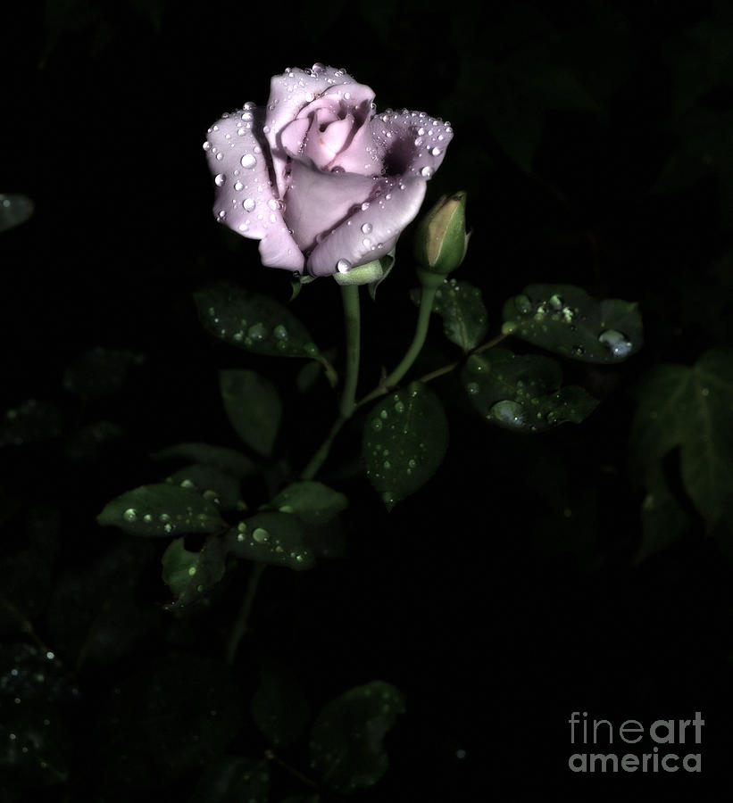 A Vintage Rose Photograph  - A Vintage Rose Fine Art Print