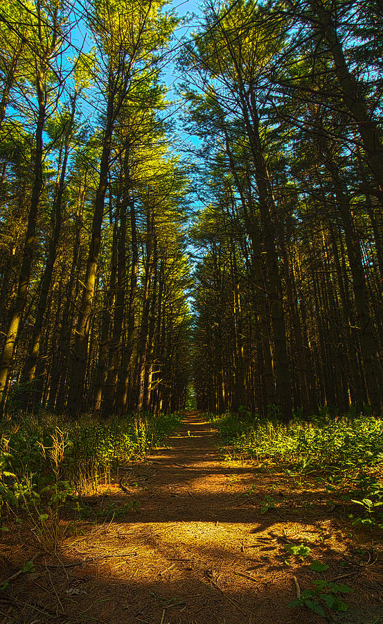 A Walk In The Pines Photograph