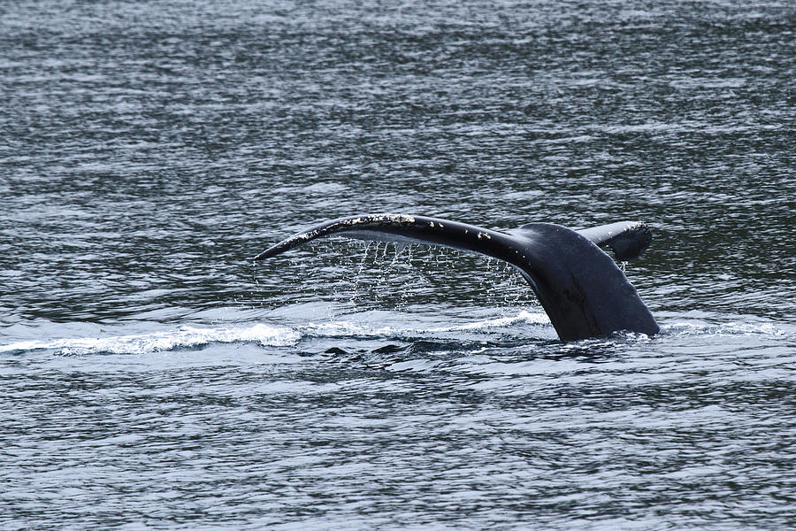 Whale's Tale Photograph - A Whales Tale D3431 by Wes and Dotty Weber