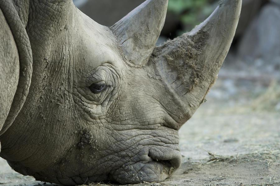A White Rhino Sniffs The Muddy Ground Photograph