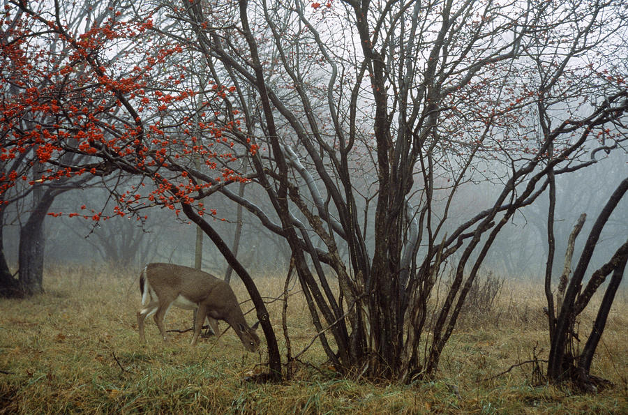 A White-tailed Deer Forages Photograph  - A White-tailed Deer Forages Fine Art Print