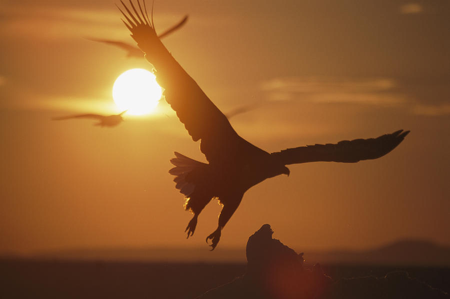 A White-tailed Eagle In Flight Photograph