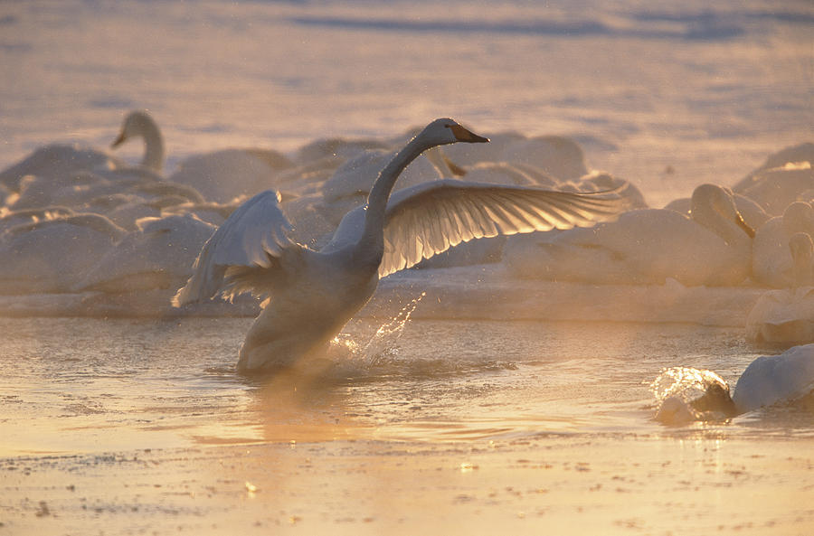 A Whooper Swan Flaps Its Wings Photograph