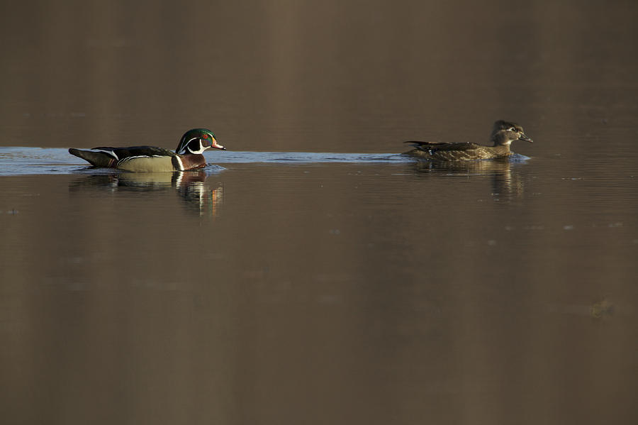 A Wood Duck Aix Sponsa Pair Photograph