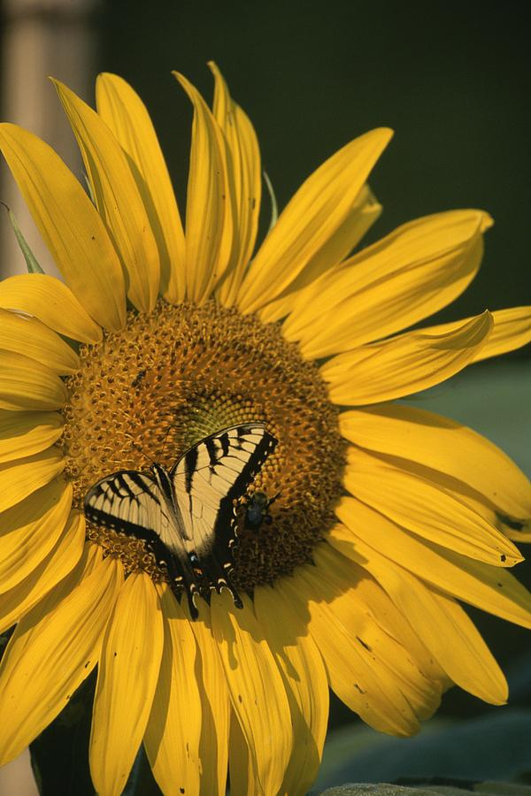 A Yellow Swallowtail Photograph
