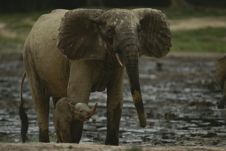 A Young Female Forest Elephant Stands Photograph