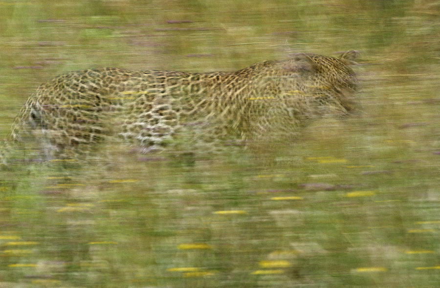A Young Female Leopard Moving Photograph