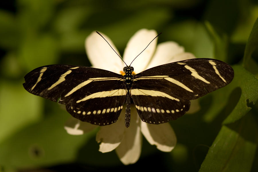 A Zebra-winged Butterfly At The Lincoln Photograph