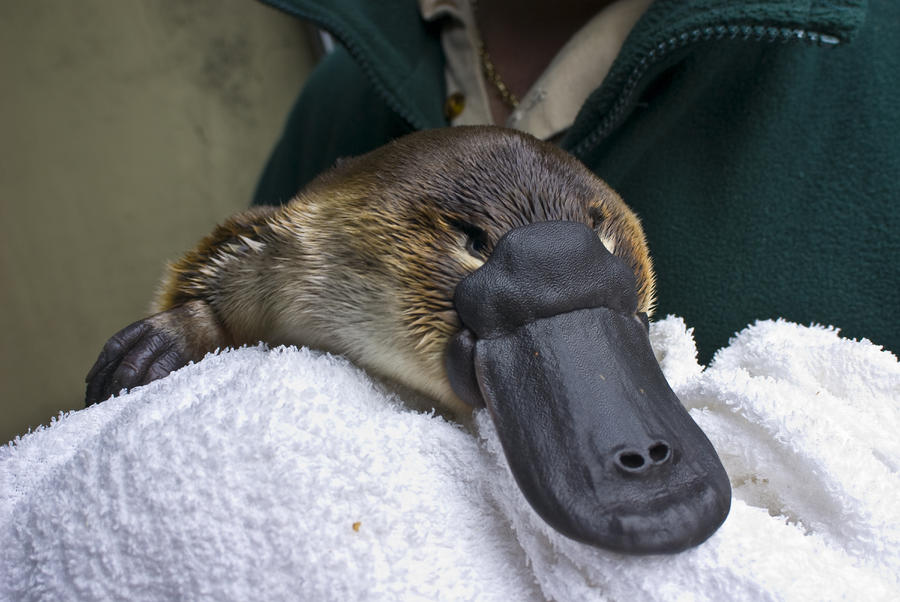 A Zookeeper Cradles A Platypus As Part Photograph  - A Zookeeper Cradles A Platypus As Part Fine Art Print