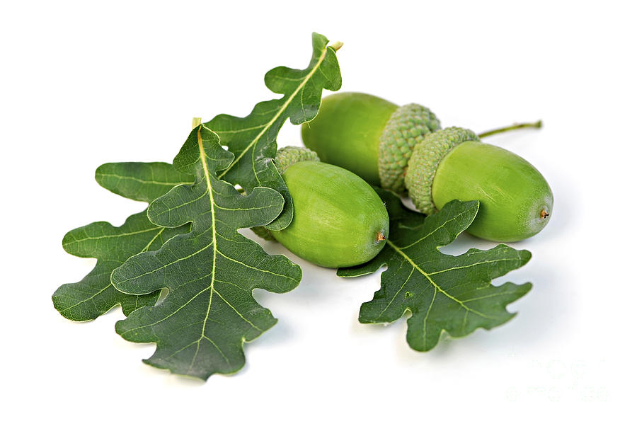 Acorns With Oak Leaves Photograph