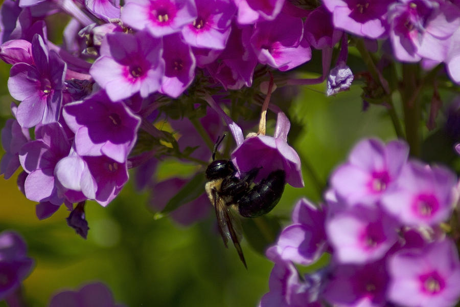 Acrobatic Bee Photograph  - Acrobatic Bee Fine Art Print