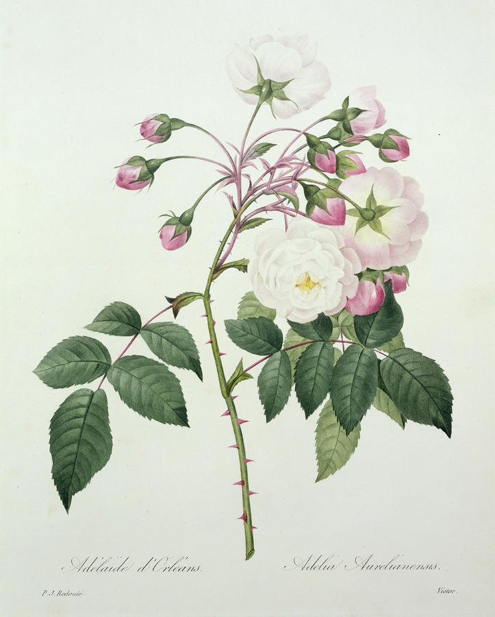 Adelia Aurelianensis Drawing
