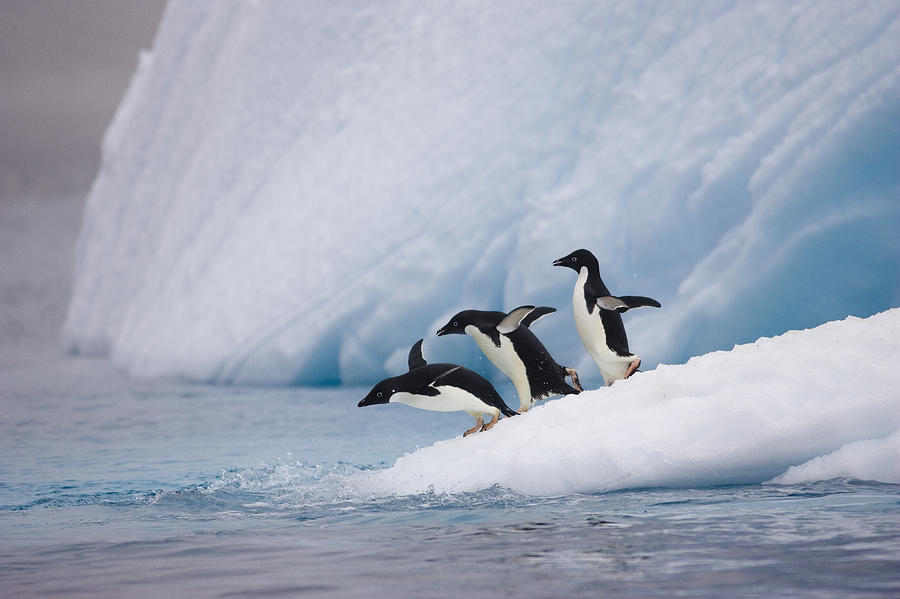 Adelie Penguin Trio Diving Photograph  - Adelie Penguin Trio Diving Fine Art Print