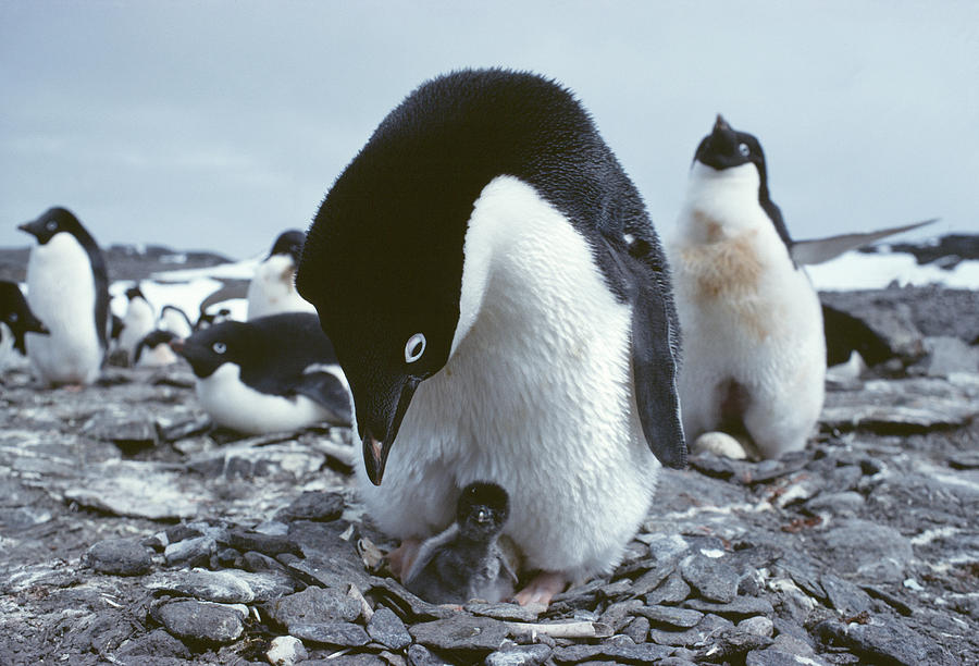 Adelie Penguin With Chick Photograph