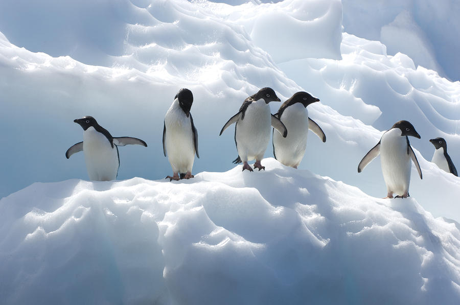 Adelie Penguins Lined Up On An Iceberg By Tom Murphy