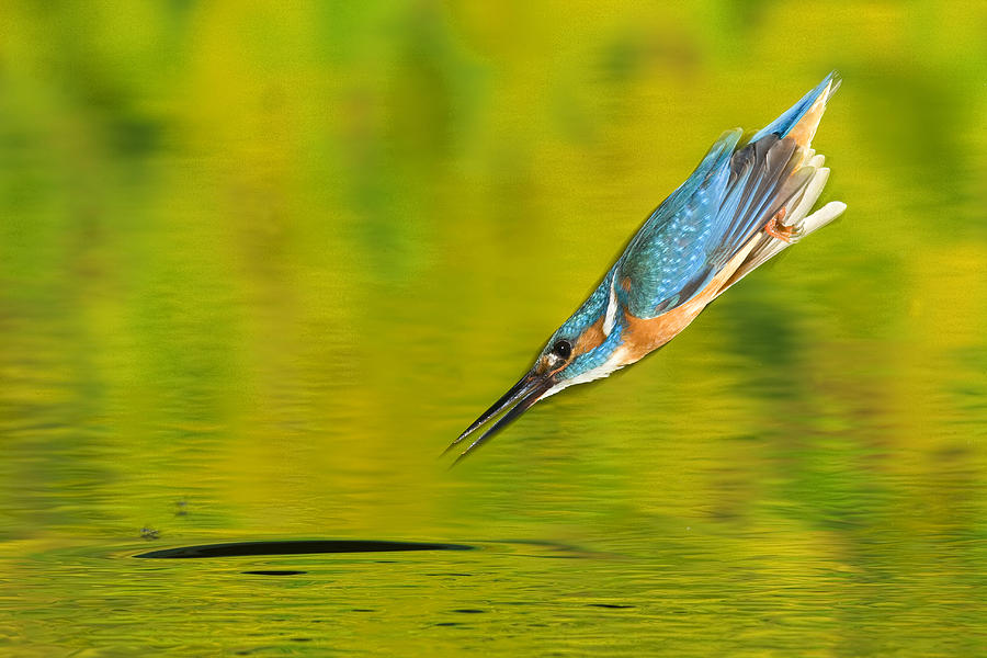 Color Image Photograph - Adult Male Common Kingfisher, Alcedo by Joe Petersburger