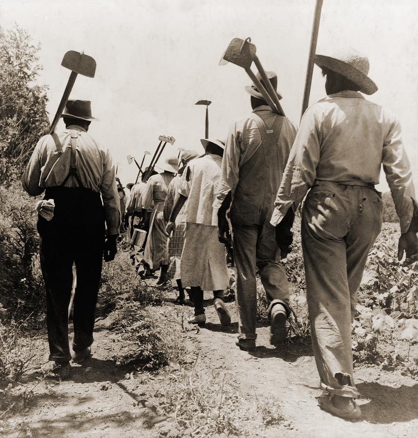 African American Cotton Hoers Worked Photograph  - African American Cotton Hoers Worked Fine Art Print