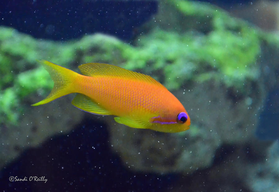 African Anthias Photograph  - African Anthias Fine Art Print