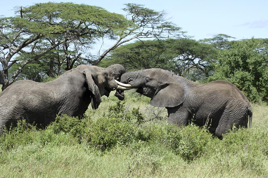afrika forest elefant tusks