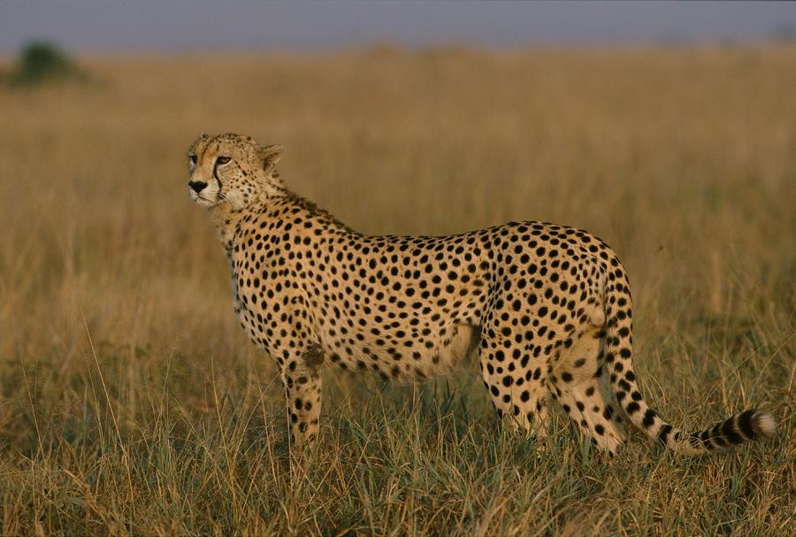 African Cheetah Acinonyx Jubatus Photograph