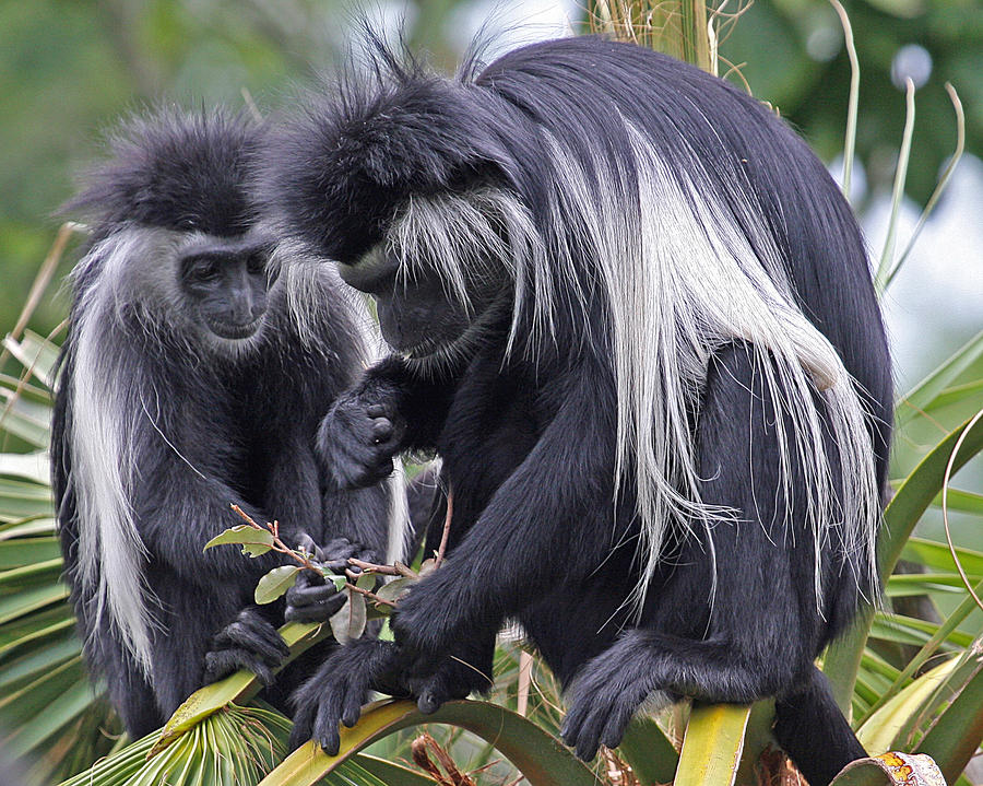 the colobus monkey of africa Colobus guereza colobus monkeys live in the forests and grasslands of central africa they are found most often in second-growth or degraded forests or along rivers.
