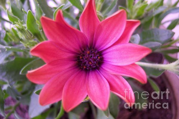African Daisy Photograph 