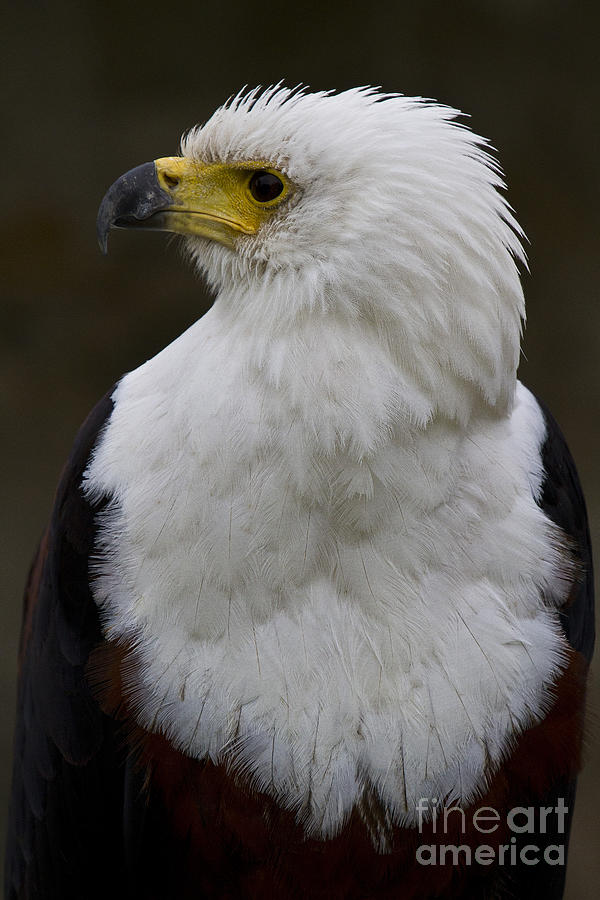 African Fish Eagle 4 Photograph  - African Fish Eagle 4 Fine Art Print