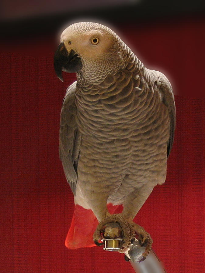 African Grey Parrot Orteil Blanc Photograph