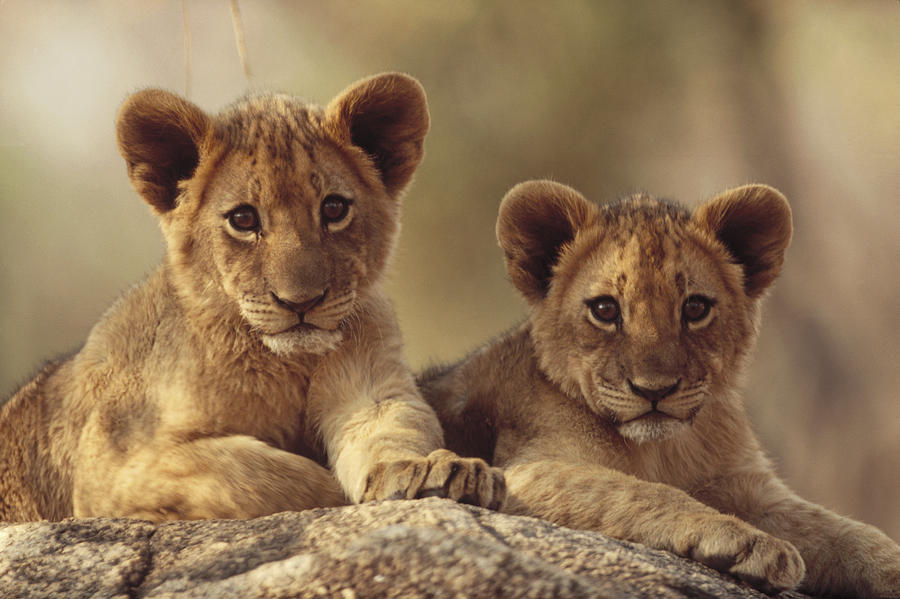 African Lion Cubs Resting On A Rock Photograph