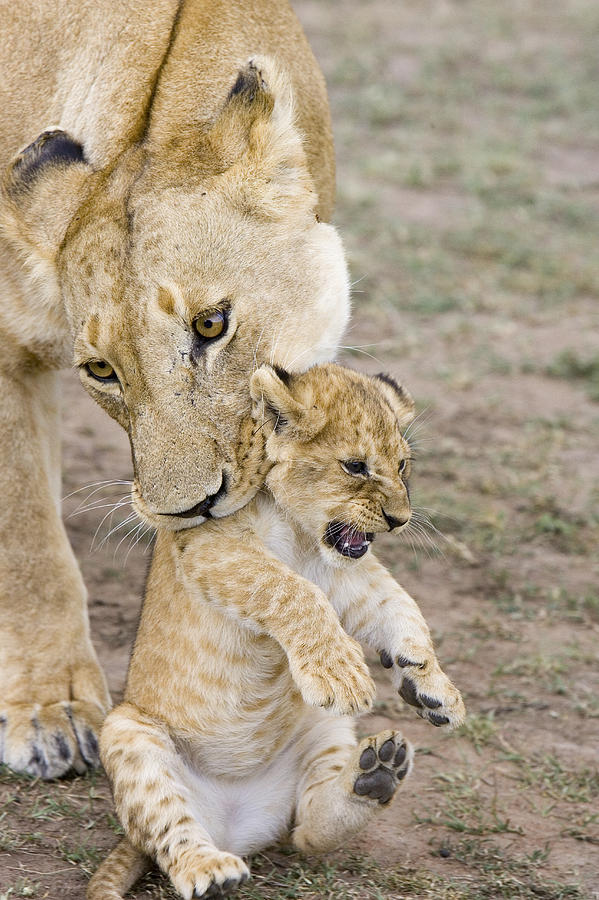 African Lion Mother Picking Up Cub Photograph
