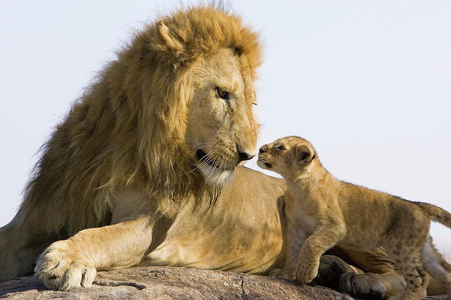 African Lion Panthera Leo Seven Photograph