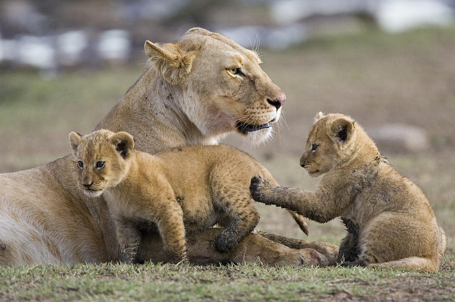 Lion Cubs With Mother ...
