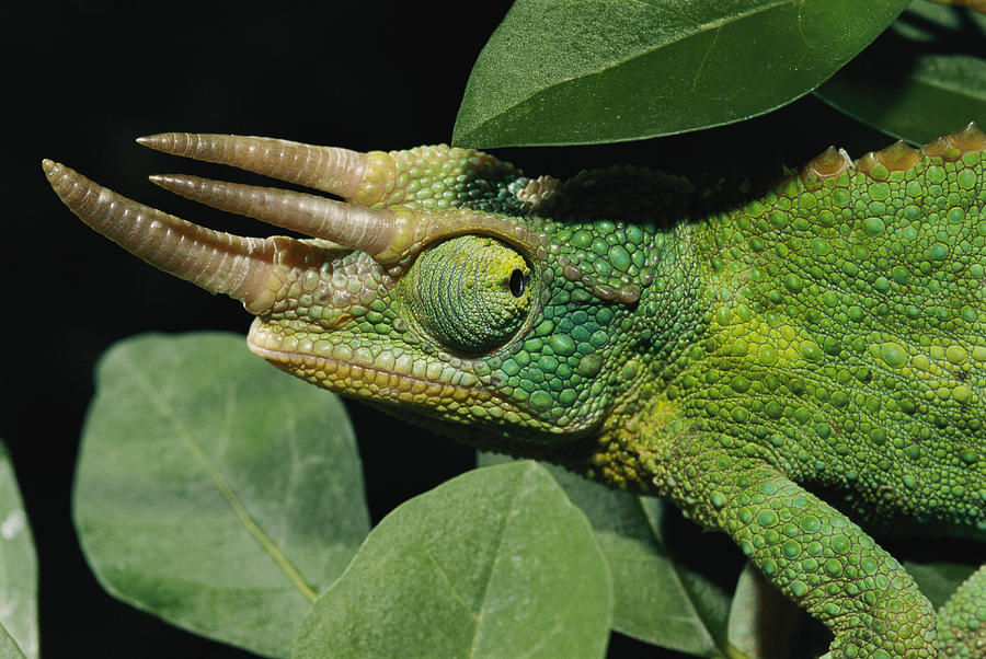 Male jackson chameleon - photo#2