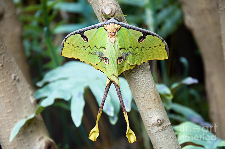 African Moon Moth 1 is a photograph by Andee Design which was uploaded ...