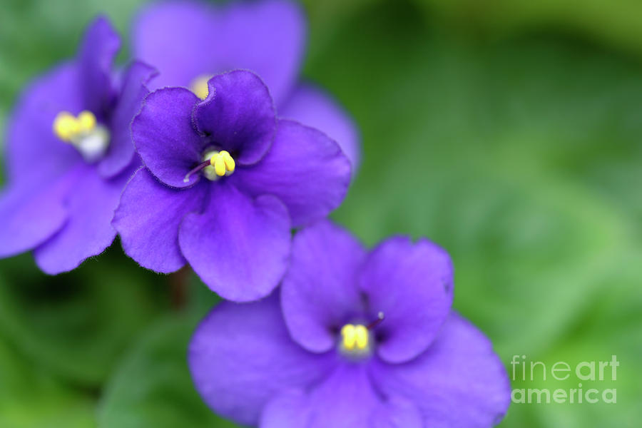 African Violet Flowers Photograph by Neil Overy