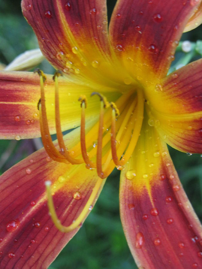 Flower With Raindrops Photograph - Afternoon Storm by Todd Sherlock