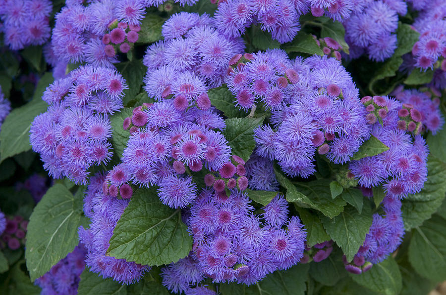 Ageratum Ageratum Sp Ariella Power is a photograph by VisionsPictures ...