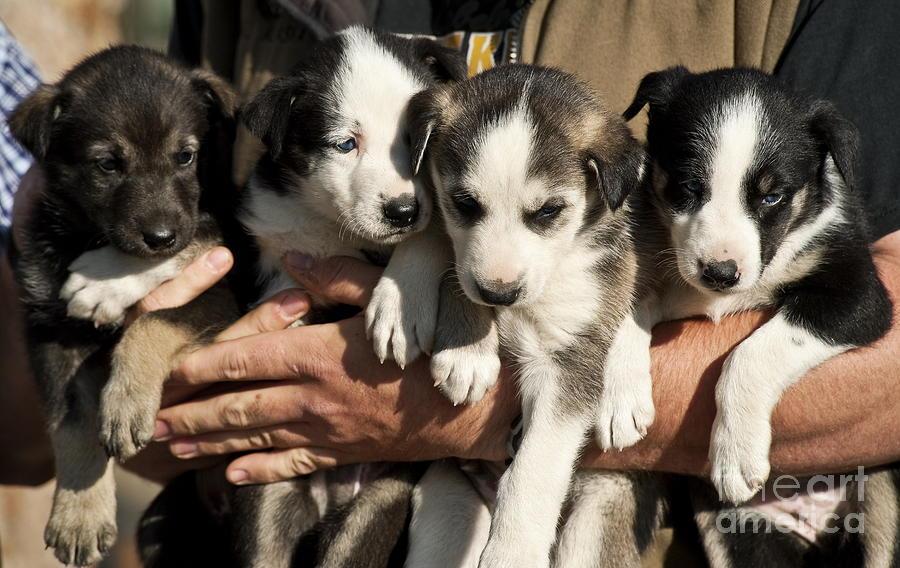 Alaskan Huskey Puppies Photograph